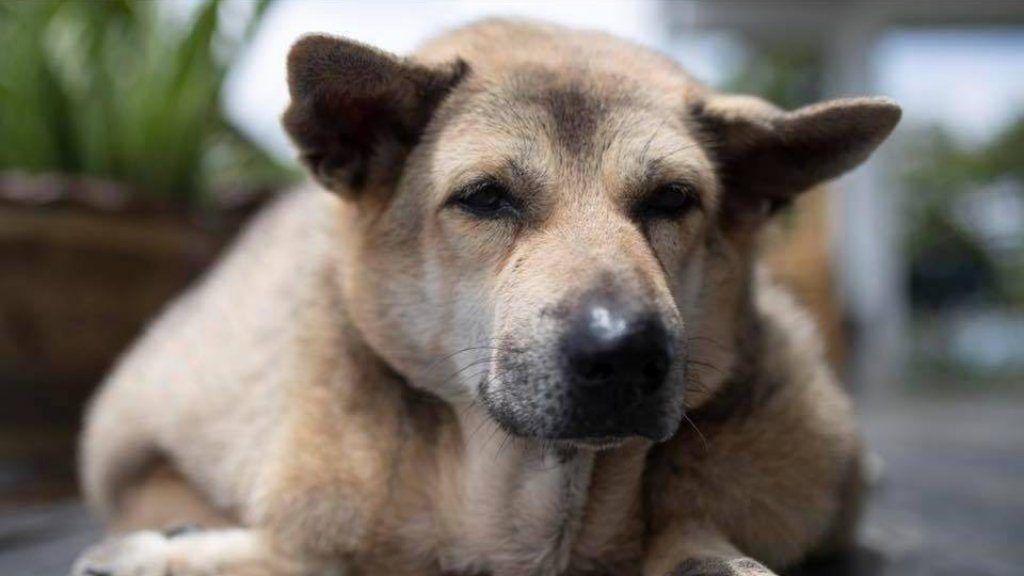 túlsúlyos beagle lefogy elveszíti a trapezius zsírt