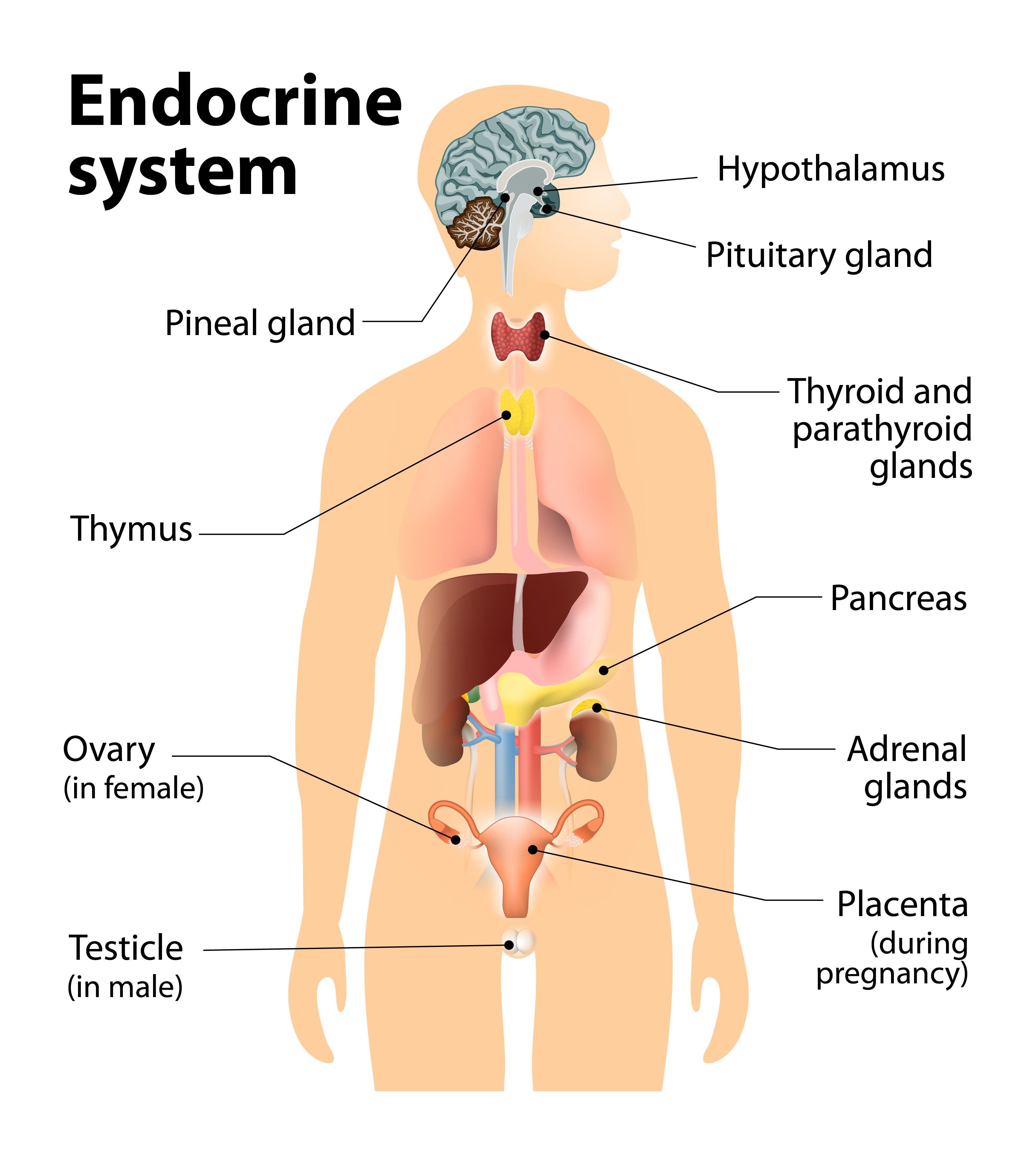 hormonok és a fogyás