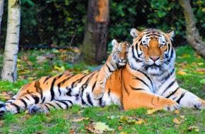 tigris fogyás