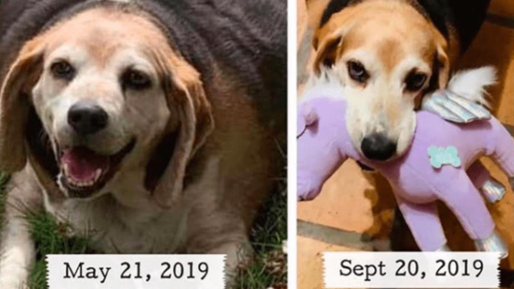 Úgy lefogyott a kövér kutya, hogy megműtik kinyúlt bőrét