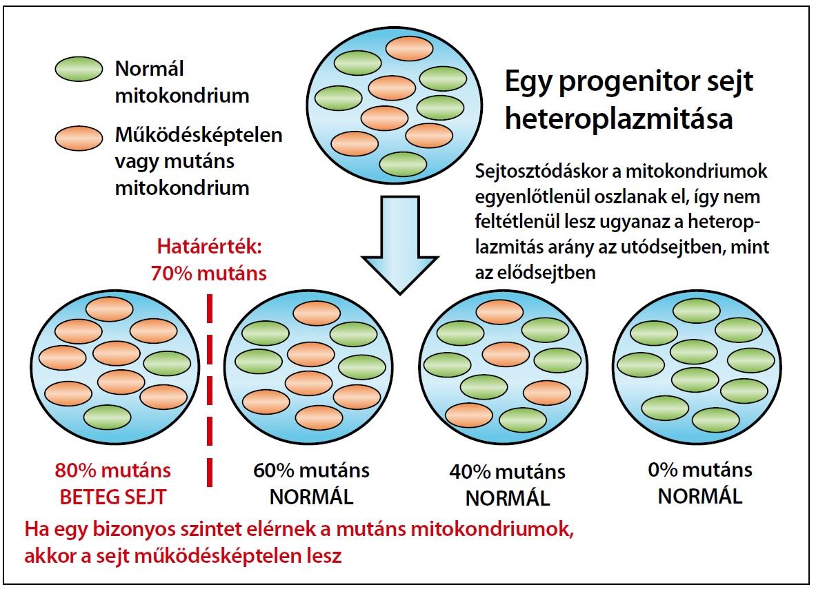 A mitokondriumokról