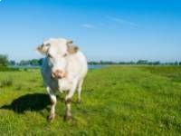 tehén fogyni